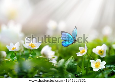 Beautiful spring  background with blue butterfly in flight and flowers anemones in forest on nature. Delicate elegant dreamy airy artistic image harmony of nature. Stockfoto ©