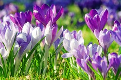 Beautiful spring background with close-up of a group of blooming purple crocus flowers on a meadow: Pretty group of purple and white crocus under the bright sun in spring time, Europe.