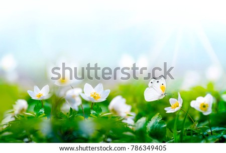 Beautiful spring  background with white butterfly in flight and flowers anemones in forest on nature. Delicate elegant dreamy airy artistic image harmony of nature, free space for text