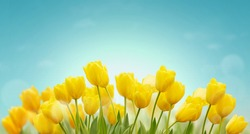 Beautiful Spring background with yellow tulips on blue sky. Fresh growing tulips in spring garden.