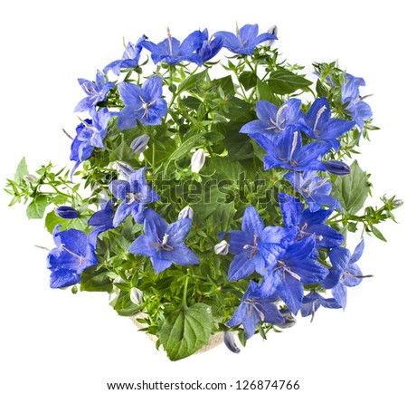 Beautiful spring bluebell flowers with copyspace isolated on white background