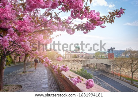 Beautiful spring cityscape  with Buda Castle Royal Palace in Buda Castle district and Cherry Blossom in the foreground. View from Tóth Árpád promenad with pink blooming tree in Budapest, Hungary. Foto stock ©