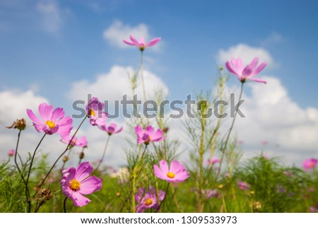 Beautiful spring Cosmos flower background., Cosmos flower.