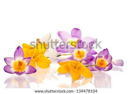 beautiful spring crocus on a white background