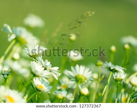 Beautiful Spring Daisy in the meadow
