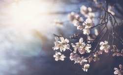Beautiful spring floral background, blossoming almond branches, bokeh, blur, background and texture, image with retro toning