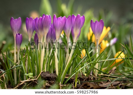 Beautiful spring flower crocus growing wild. Amazing beauty of wild flowers in nature. View of close-up magic blooming spring flowers crocus. Seasonal easter natural background.