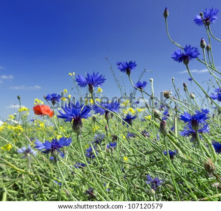 Beautiful spring flowers blue cornflower
