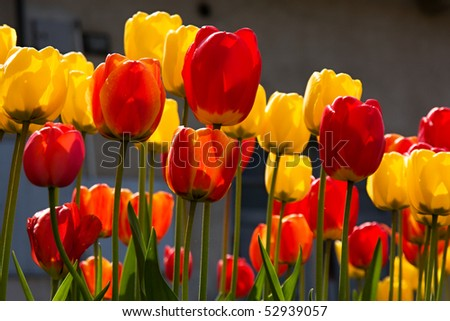 Beautiful spring flowers - colorful spring tulips