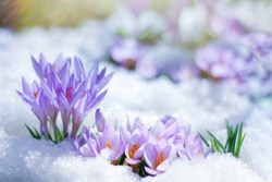 beautiful spring flowers crocuses spring break out from under the snow. the concept of the arrival of spring and the awakening of nature