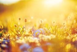 beautiful spring flowers in field in evening yellow orange sunlight in nature. Ourdoor vintage photo