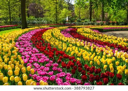 Beautiful spring flowers in Keukenhof park in Netherlands (Holland)