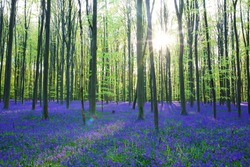 Beautiful spring forest with carpet of bluebells or wild hyacinths flowers on a sunny day, Belgium, Halle