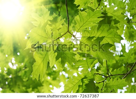 beautiful spring leaves of maple tree and rays of light