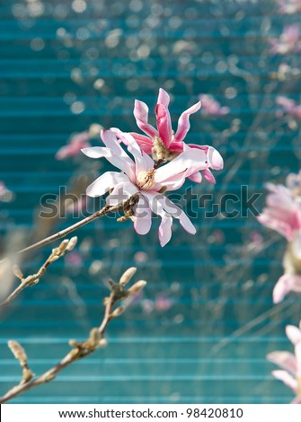 beautiful spring magnolia. sunny day. selective focus