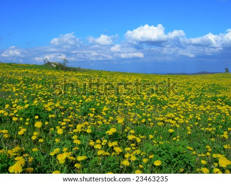 Beautiful spring meadow with blooming yellow   dandelions