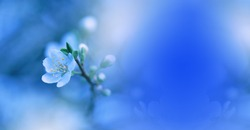 Beautiful Spring Nature Blossom Web Banner or Header.Tranquil Abstract Closeup Macro Photography.Floral Art Design.Blurred space for text.Creative Artistic Blue Background.Classic Blue Pantone 2020.