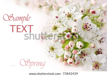 Beautiful spring pear blossoms on white background with copy space.  Macro with shallow dof