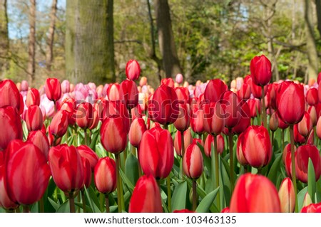 Beautiful spring tulip flowers in Keukenhof park in Netherlands (Holland)