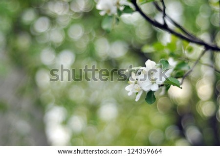 Beautiful spring wallpaper of apple tree in blossom