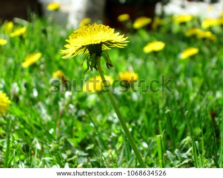 Beautiful spring yellow dandelion close-up, as part of the crowd in the courtyard lawn dandelions #1068634526