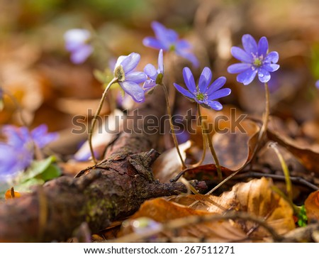 Beautiful springtime liverworts (Hepatica nobilis) flowers. First flowers blooming in spring forest in march or april. Polish forest flowers.