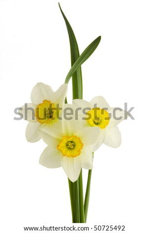 Beautiful springtime narcissus (daffodil) flower isolated on white background