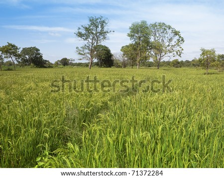 beautiful sri lankan landscape with exotic trees viewed across paddy fields with ripening rice under a blue sky in the anamaduwa area