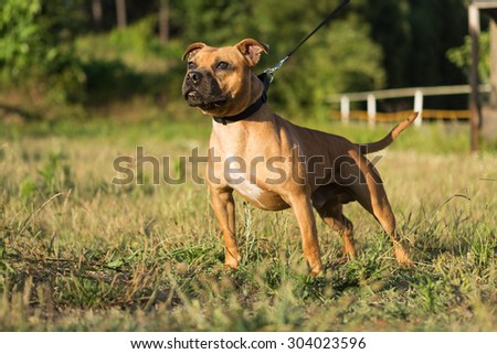 Beautiful staffordshire bull terrier posing in a park at the sunset #304023596