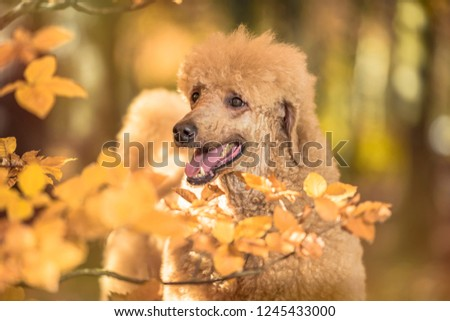 Beautiful standard poodle portrait in the colorful autumn with leaves in the park #1245433000
