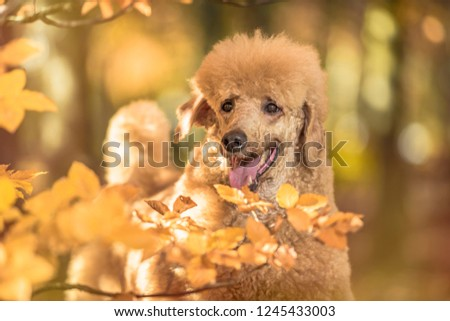 Beautiful standard poodle portrait in the colorful autumn with leaves in the park #1245433003