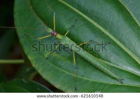 beautiful stick insect found in the forest of Borneo #621610148