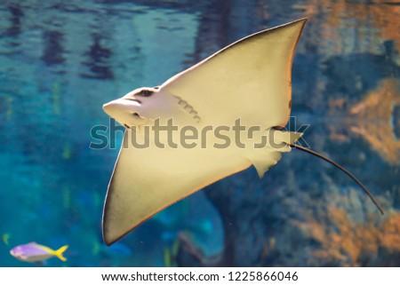 beautiful stingray in the blue ocean