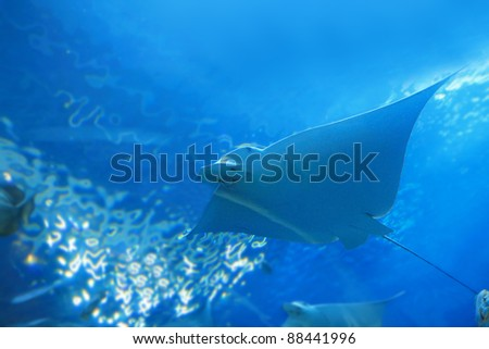 beautiful stingray in the blue ocean