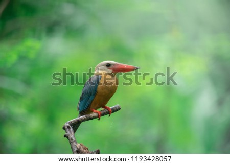 Beautiful Stork-billed kingfisher on wood branch on shallow blurry green background you can use for nature book or online news column