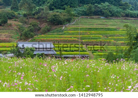 Beautiful straight line and cosmos field of rice field
