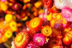 beautiful straw flower or everlasting helichrysum bracteatum