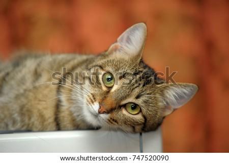 beautiful striped European shorthair cat lies