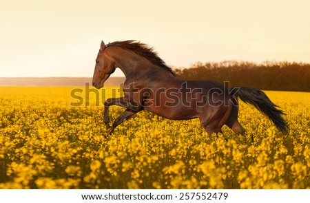 Beautiful strong horse galloping, jumping in a field of yellow flowers of rape against the sunset. Stallion lit by sunlight.