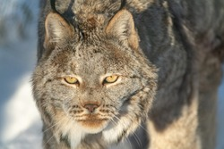 Beautiful stunning Canadian lynx with full front face walking staring towards the camera in winter.