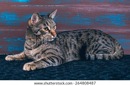 Beautiful stylish Bengal cat. Animal portrait. Bengal cat is lying. Wood background. Collection of funny animals