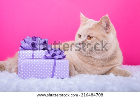Beautiful stylish british cat with nice presents. Animal portrait. British cat lying. Pink background. Colorful decorations. Collection of funny animals