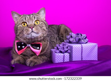Beautiful stylish british cat with nice presents. Animal portrait. British cat with bow-tie is lying. Pink background. Colorful decorations. Collection of funny animals