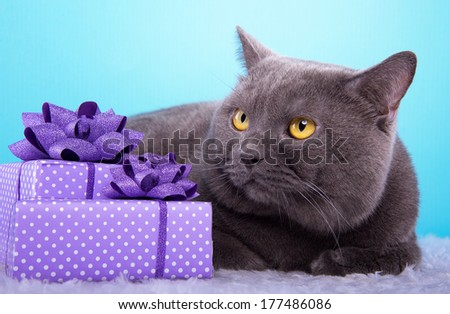 Beautiful stylish british cat with nice presents. Animal portrait. British cat with bow-tie is lying. Blue background. Colorful decorations. Collection of funny animals