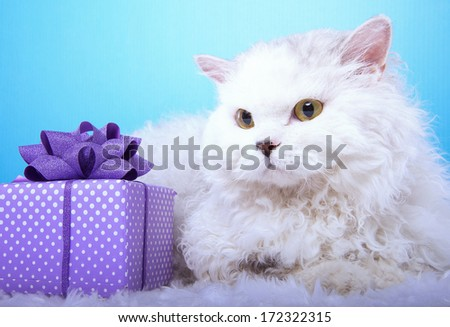 Beautiful stylish cat with nice presents. Animal portrait. Beautiful cat with bow-tie is lying. Blue background. Colorful decorations. Collection of funny animals