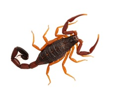 Beautiful sub-adult Florida bark scorpion, (brown bark scorpion), Centruroides gracilis, isolated. This species ranges from Florida, Central America and parts of the Caribbean and South America