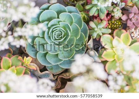 Beautiful succulent plant in pots.