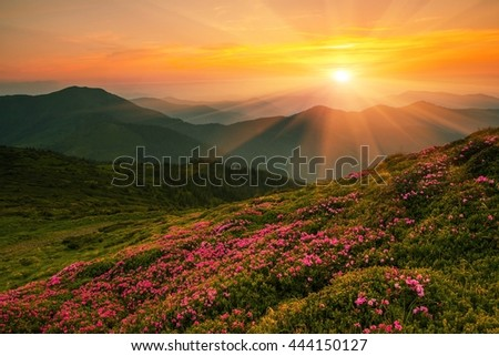 beautiful summer landscape with blossom  rhododendron flowers , Europe mountains, west Ukraine,  East Europe - Shutterstock ID 444150127