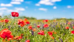 Beautiful summer meadow nature. Spring and summer poppy flowers under blue sky and sunlight