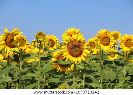 Beautiful summer nature background with sunflowers.  Rural landscape with a blue sky over sunflowers field in sunlight close up in a shallow depth of field. Agriculture, agronomy and farming concept.